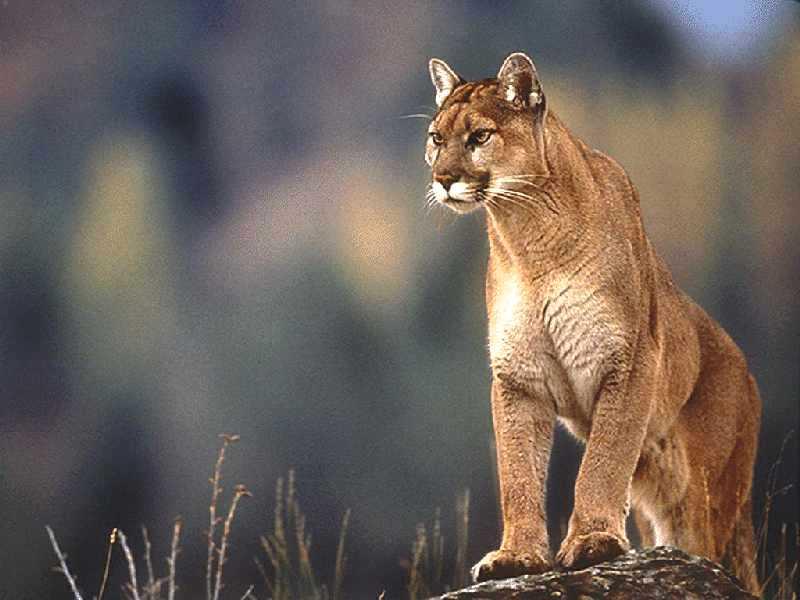 america cougar