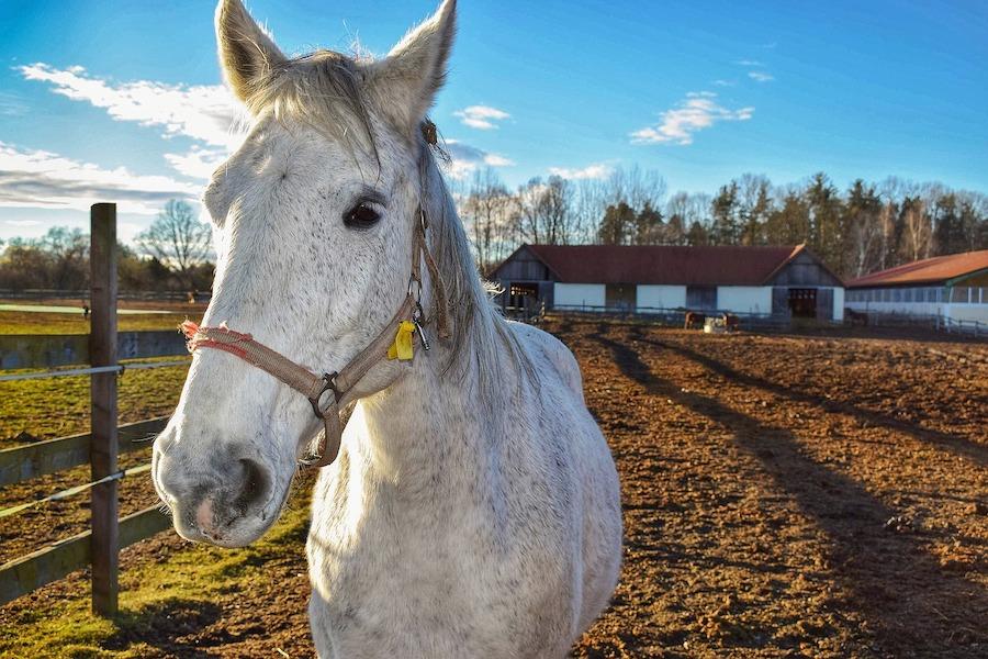 horse in a pen