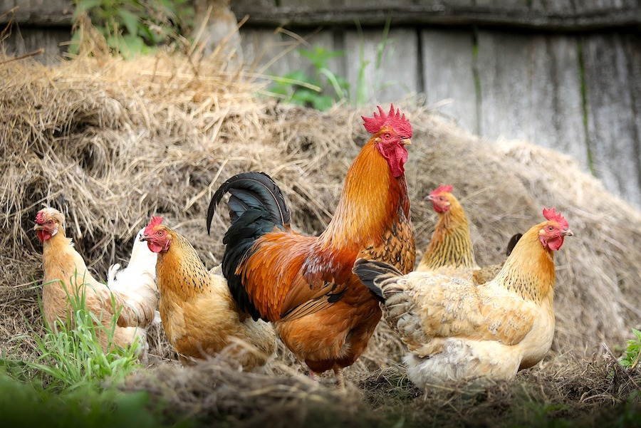 cock and Hens